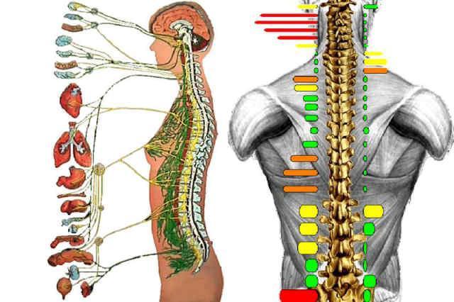 Система регулирует работу чего мышц