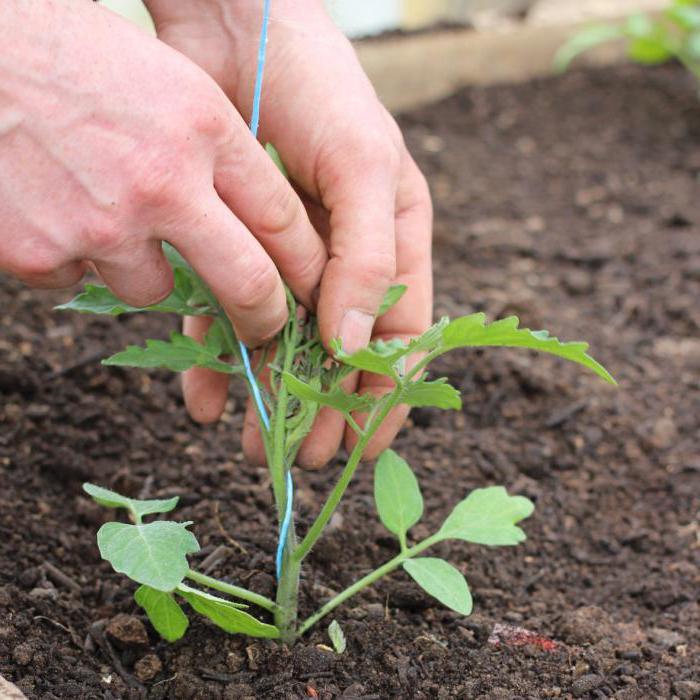 семена томатов малиновое чудо отзывы