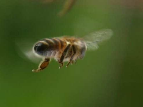 лечения пчелами варикоз