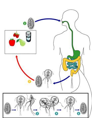 Полезные паразиты в организме человека
