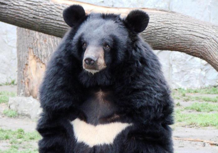 Медвежья желчь применение от чего