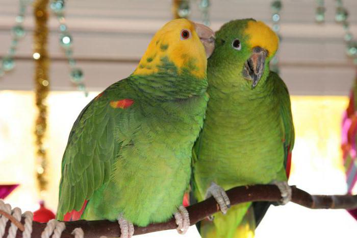 амазон попугай отзывы