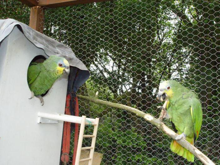 амазон попугай содержание