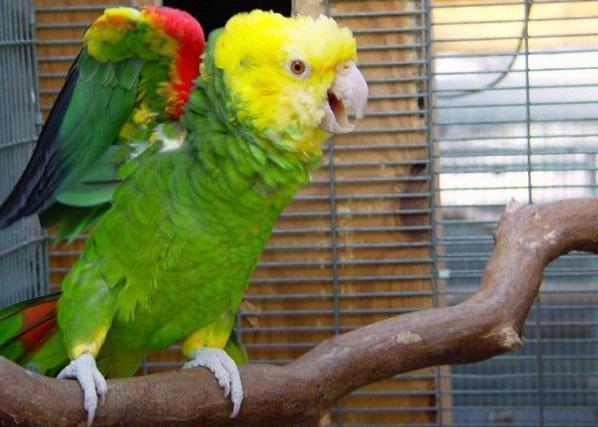 попугай амазон фото