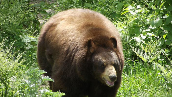 Медвежий жир при температуре у ребенка можно thumbnail