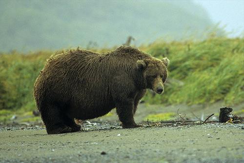 медвежий жир применение для детей