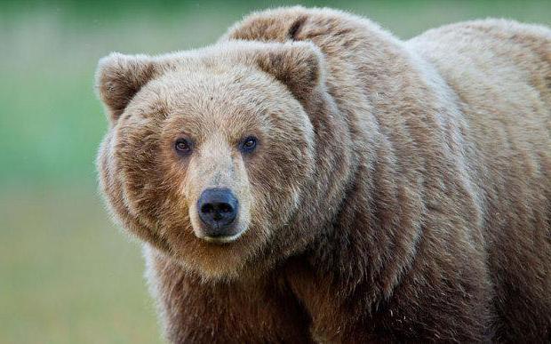 медвежья желчь цена