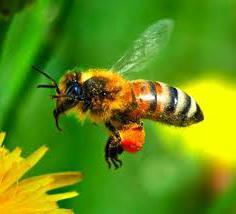 пыльца пчелиная польза