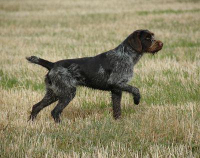 Собаки породы дратхаар: описание породы и отзывы