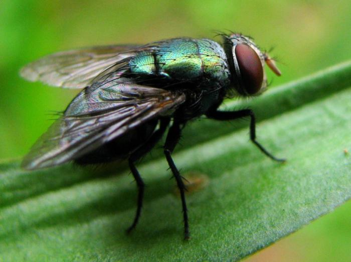 Чем питаются разные виды мух