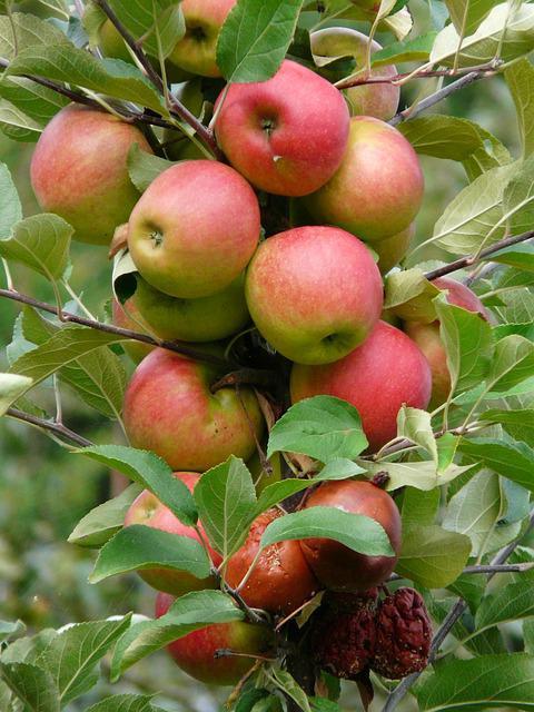 яблоня белорусское сладкое фото описание