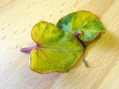 Цикломения цветок желтеют листья