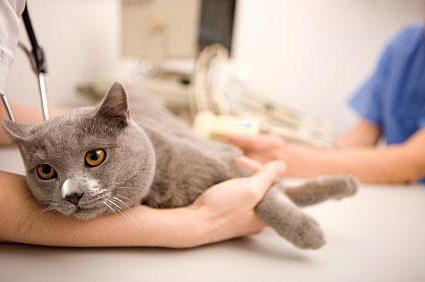 нормальная температура тела у кошек