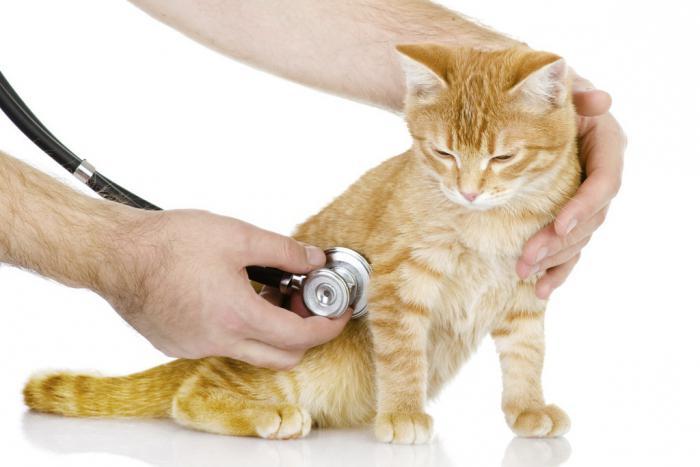 повышение температуры тела у кошки
