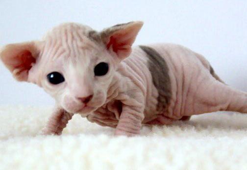 температура тела у кошек сфинксов