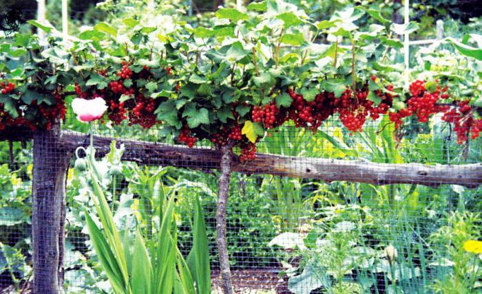 Посадка красной смородины осенью