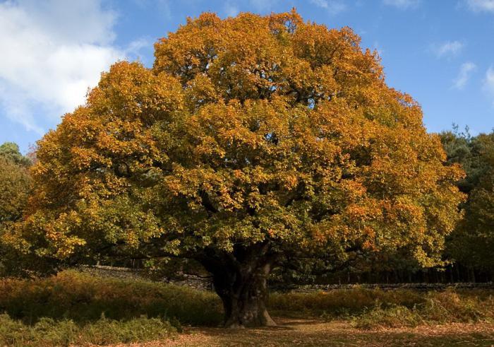 когда распускаются листья дуба