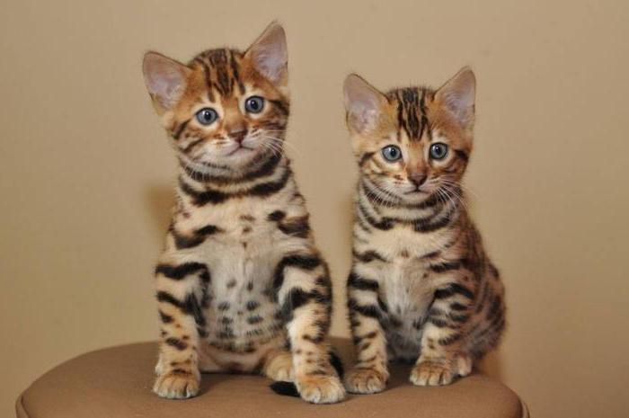 Кого лучше держать в квартире кошку или кота