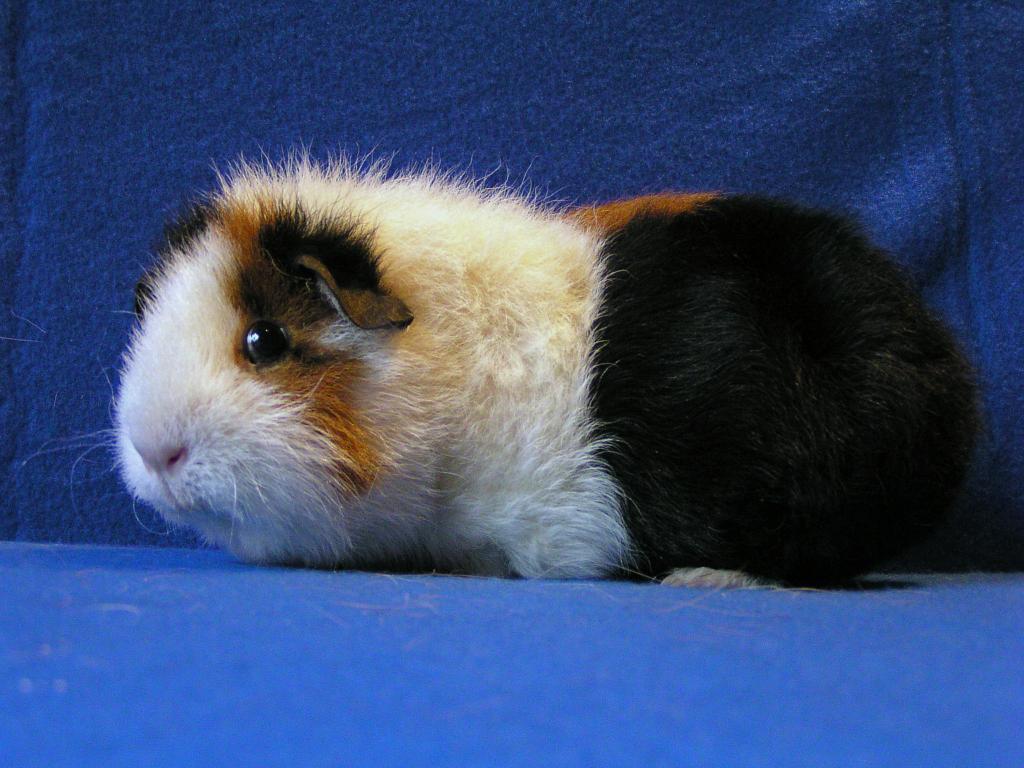 Морская свинка: плюсы и минусы содержания