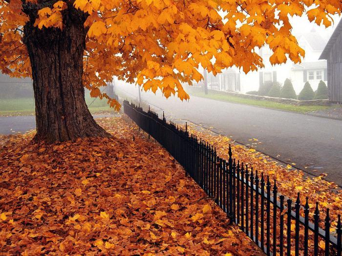 Клен картинки осенью