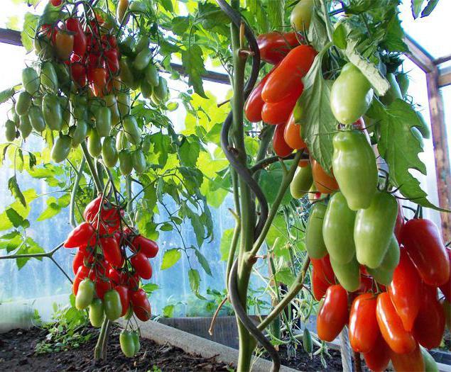 Томат аурия отзывы фото урожайность