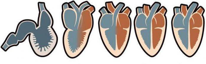 Рептилии сердце