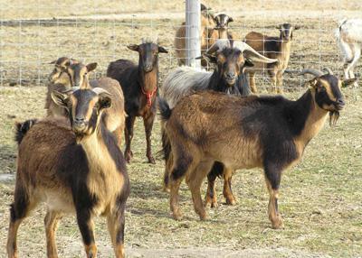 Мясная порода коз