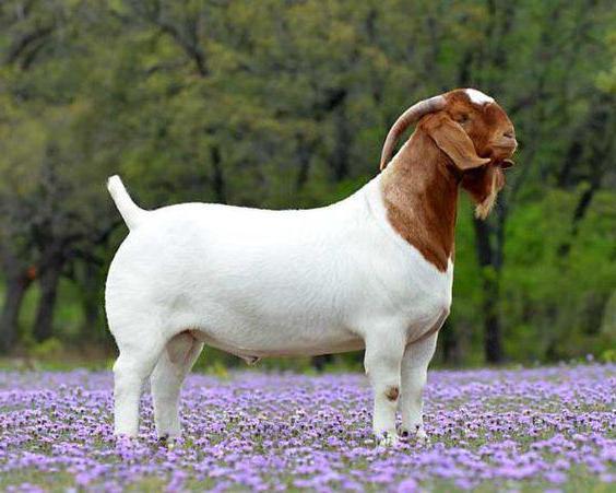 Ð'урские козы
