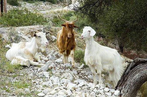 """Ð""""реческие козы"""