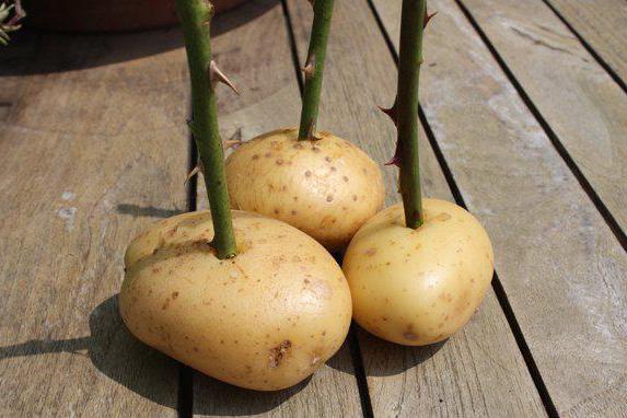 Отросток розы в картошке