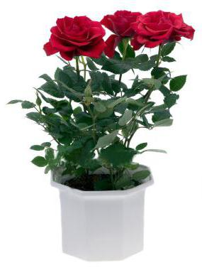 Роза в картошке в домашних условиях