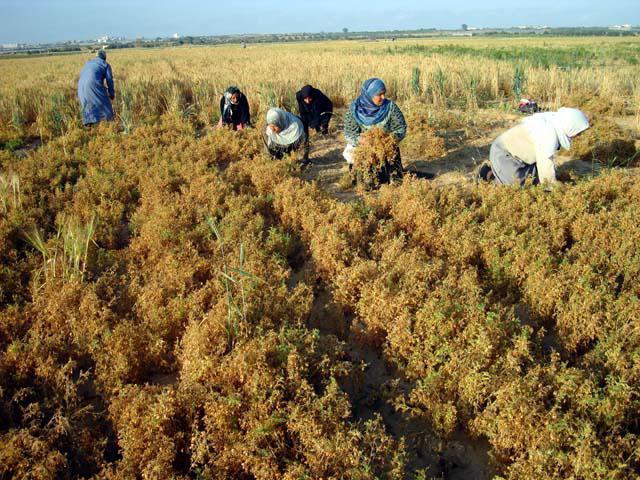 Особенности выращивания чечевицы