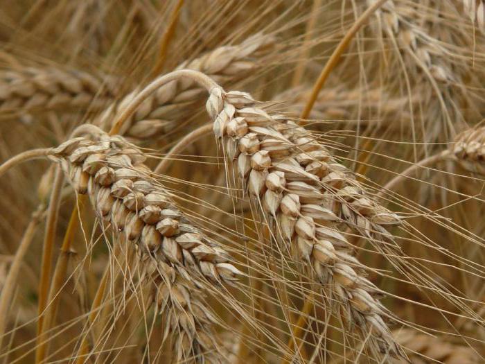Зерновые культуры, список растений с названиями, виды зерна, основные черты размещения, урожайность, классификация пшеницы -