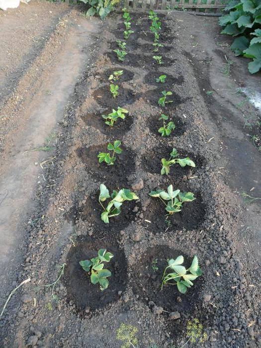 Клубника первоклассница особенности выращивания