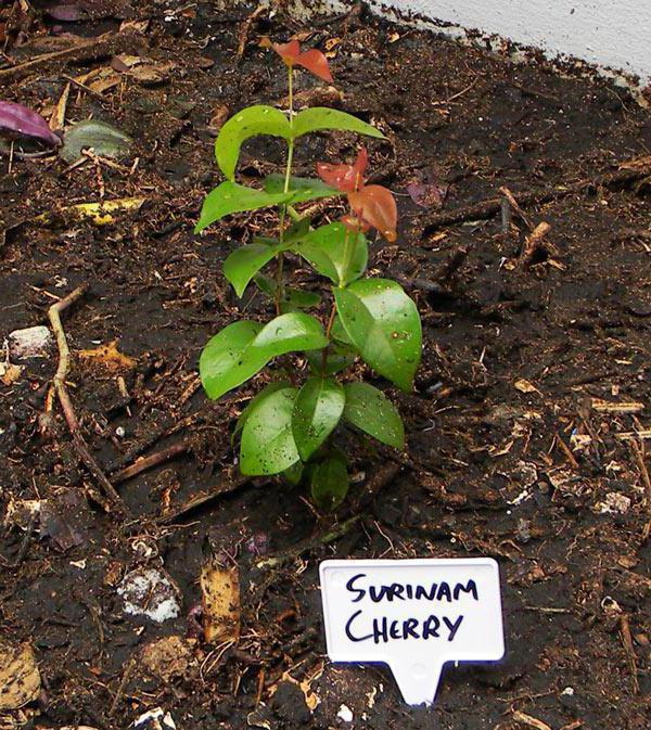 Суринамская вишня (питанга): описание, особенности выращивания и полезные свойства