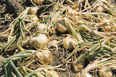 Горчица - хороший сидерат Почвы и удобрения 61