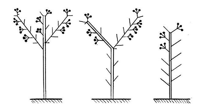 Формирование баклажанов в теплице
