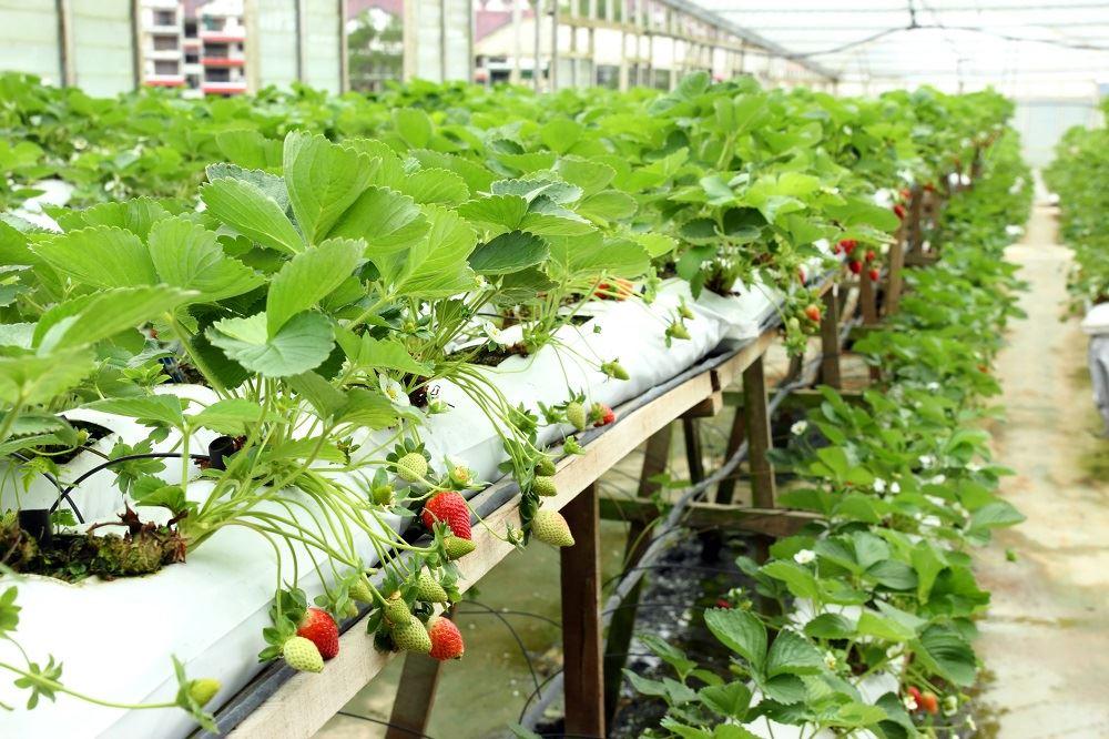 Условия для выращивания клубники 26