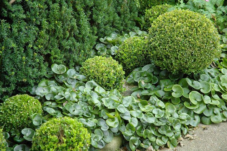 Название почвопокровных растений