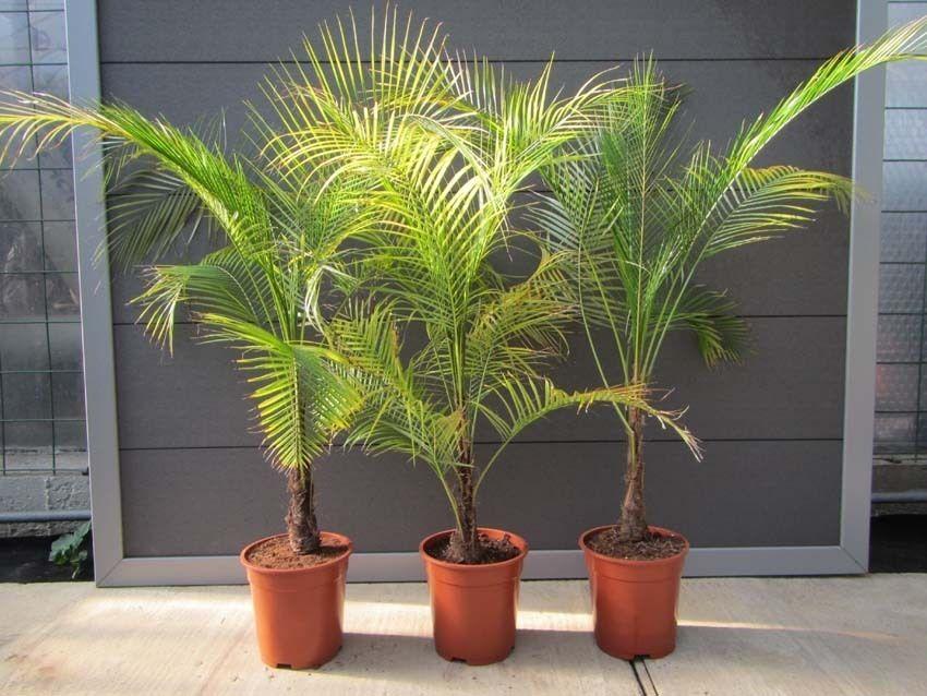 Разновидности домашних пальм с фото все