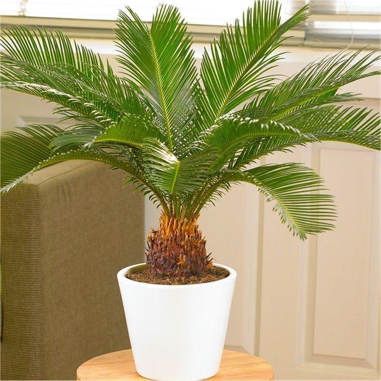 Комнатный цветок в виде пальмы фото и название