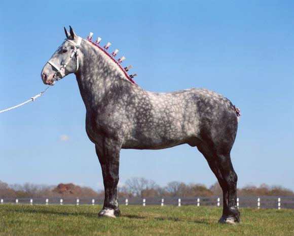Самый большой вес лошади