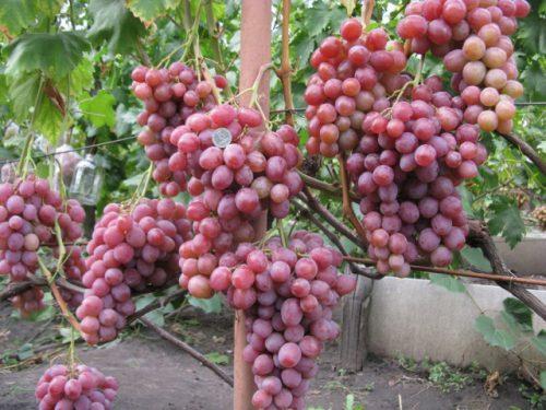 Рубиновый юбилей виноград описание
