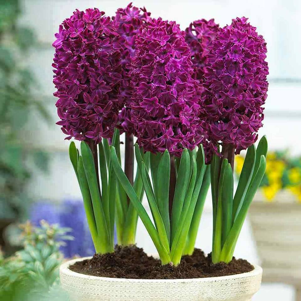 пьют названия цветка с луковицей с картинками для его