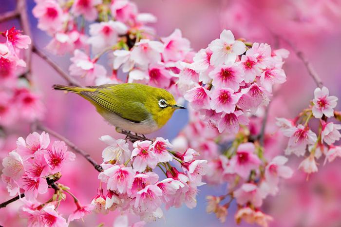 Картинки цветущая вишня