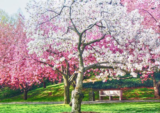 Вишневый сад цветы
