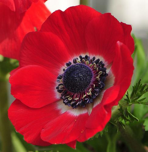 Анемоны цветы посадка