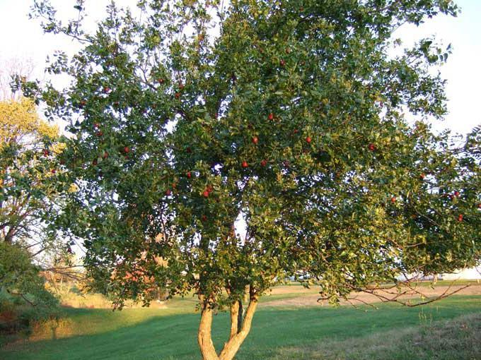 Унаби дерево молодости и здоровья