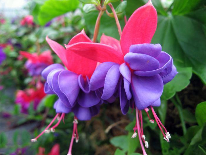комнатные цветущие цветы  название