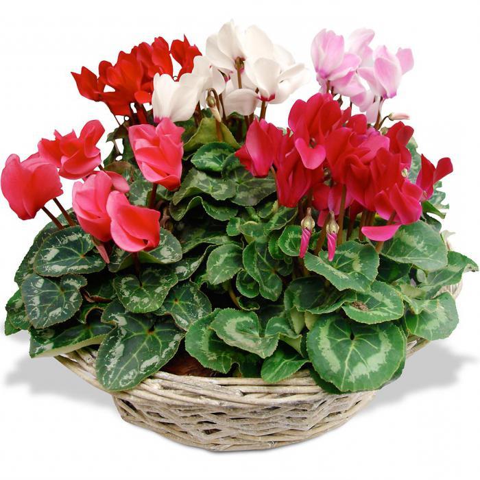 Комнатный цветок цветущий круглый год